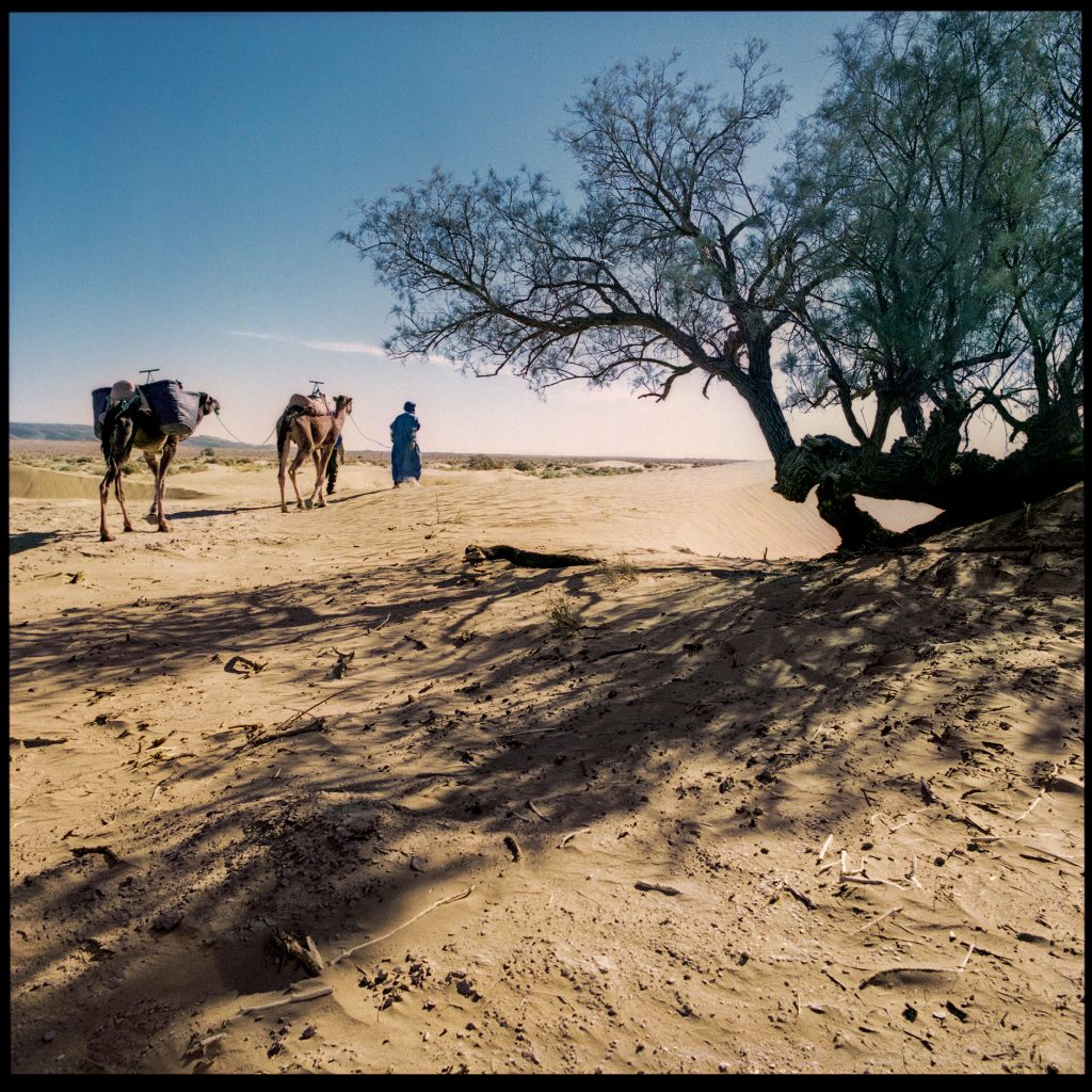 Color image with a man and a camels in the desert from marocco